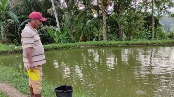 Prospek Cerah, Budidaya Ikan Koi di Kolam Tanah Ala Petani Desa Gumiwang Banjarnegara
