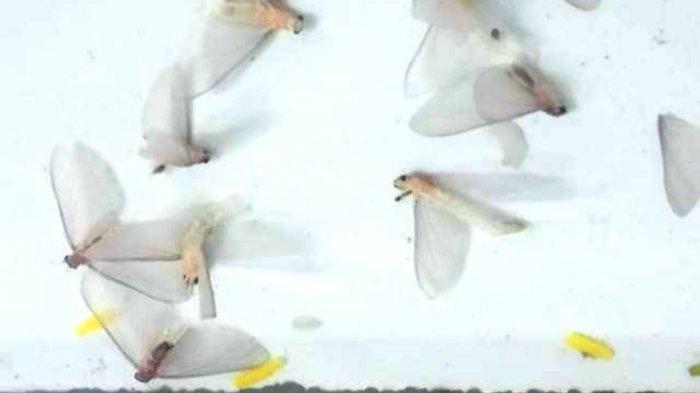 Sebabkan Kecelakaan, Jenis Serangga di Jembatan Pelangi Kebumen Masih Misteri