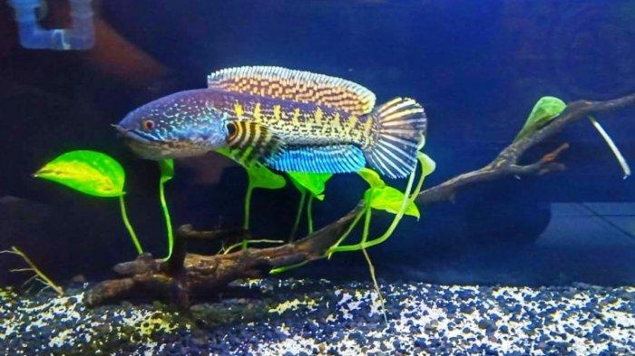 Koleksi Ikan Channa Berharga Jutaan Rupiah Jadi Hobi Baru Anak Muda Kekinian Kota Semarang