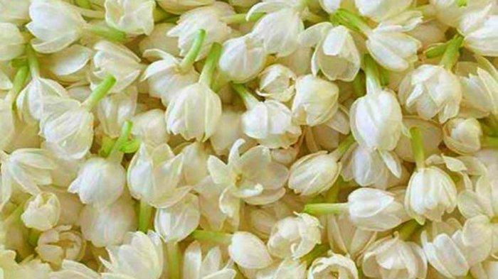 Harga Bunga Melati Pemalang Tembus Rp 130 Ribu per Kg, Apa yang Bikin Mahal?