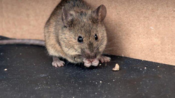 Pasukan Tikus Serbu Penjara di Australia, Ratusan Napi Dievakuasi