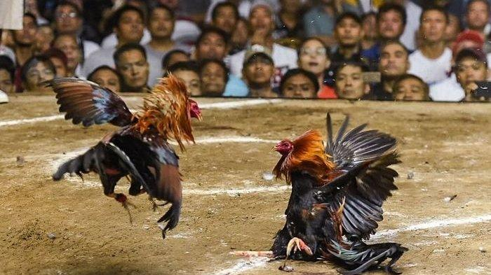 Seorang Pria Tewas Dibunuh Ayam Sendiri Sabung Ayam, Polisi Sempat Menahan Ayam Jagonya