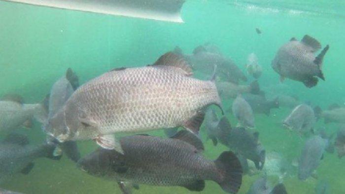 Diminati Pasar Luar Negeri, KKP Genjot Budidaya Ikan Kakap Putih