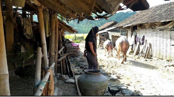 Kampung Kebo Semarang Mulai Meredup, Tak Ada Generasi Penerus dan Kesulitan Pakan