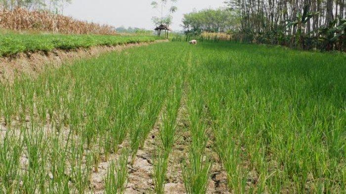 1.201 Desa Masih Dilanda Kekeringan, BPBD Jateng Sebut Hujan Merata Mulai Akhir Oktober