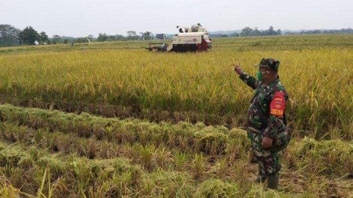 Hasilkan 10 Ton/hektare,  Kodim 0710 Pekalongan Panen Raya Bersama Petani Sidomukti