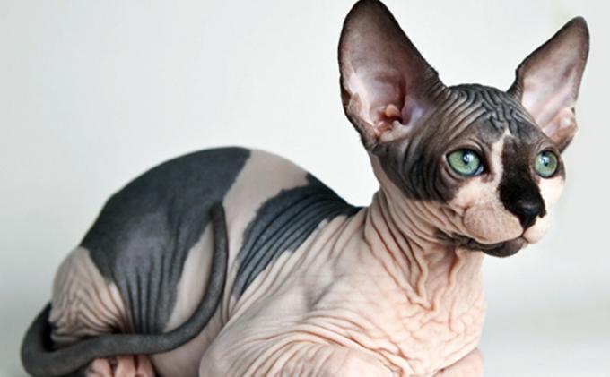 Kucing Sphynx Gundul Lucu Tapi Harganya Mencapai Rp 25 Juta