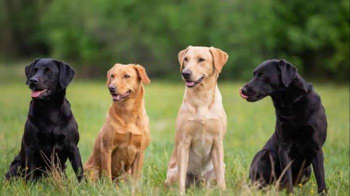Ini Dia 3 Jenis Anjing Pengendus Terbaik Digunakan Peneliti Inggris untuk Deteksi Virus Covid-19