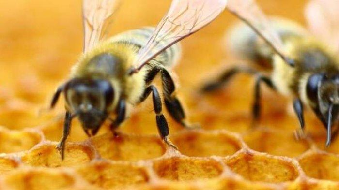 Kebangkitan Lebah Madu Nasional
