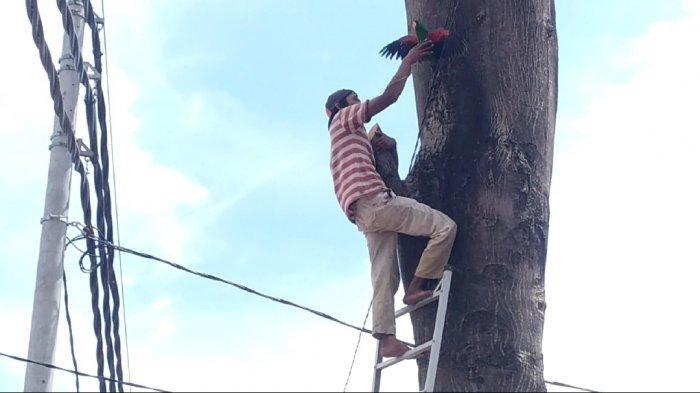 Aksi Tayek selamatkan burung Nuri Bayan yang termasuk burung dilindungi undang-undang. Burung tersebut tersangkut di pohon randu di ketinggian 30 meter yang berada di pinggir jalan Ngesrep Timur 5,Sumurboto, Banyumanik, atau diseberang kantor Kecamatan Banyumanik, Jumat (16/7/2021).