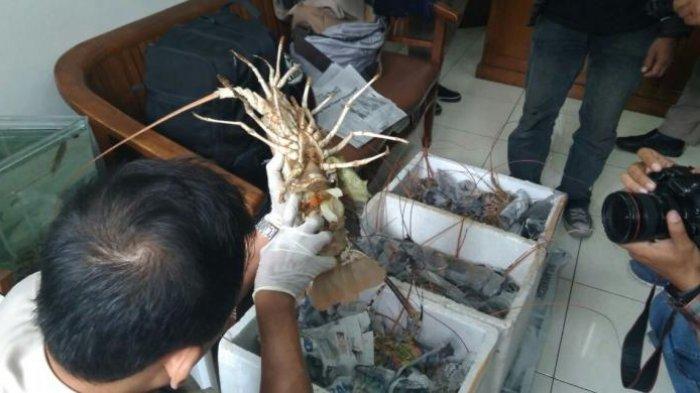 Vietnam, Pengekspor Lobster Terbesar di Dunia Yang Benihnya Bergantung pada Indonesia
