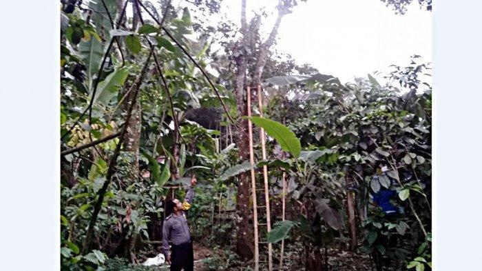 Innalillahi Wa Innailaihi Rojiun, Kakek Dariman Tewas Terjatuh dari Pohon Rambutan Setinggi 15 Meter