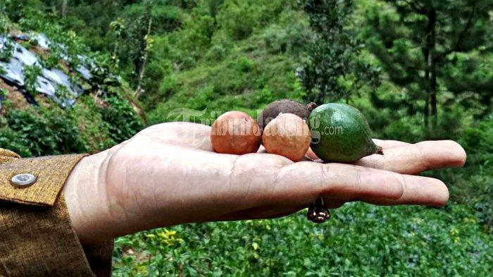 Dulu Jadi Mainan Anak Petani Banjarnegara, Ternyata Harga Kacang Macadamia Disebut Termahal di Dunia