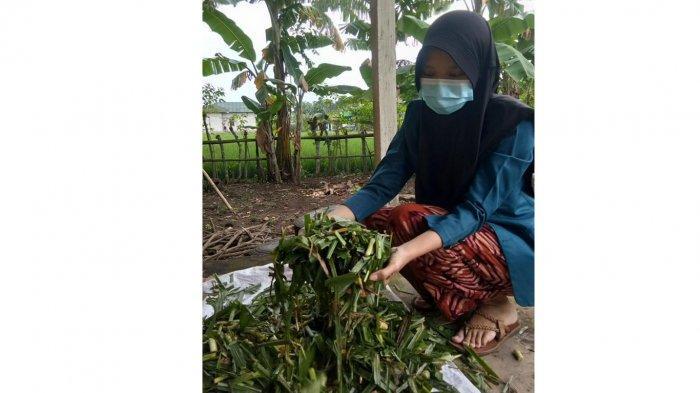 Pengolahan Rumput Odot Menjadi Silase Kreasi Mahasiswa KKN Undip Semarang