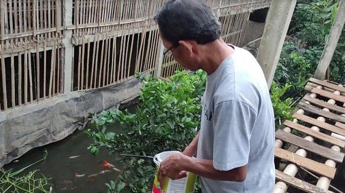 Kisah Inspirasi:  Martono Bangun Kolam Ikan di Bawah Kandang Ayam, Bebas Beli Pelet