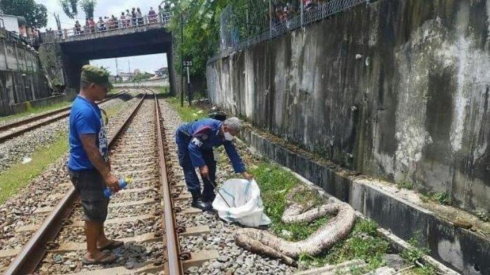 Ditemukan Bangkai Ular Piton 3,5 Meter di Belakang Hotel Asia Solo, Tubuhnya Terpotong
