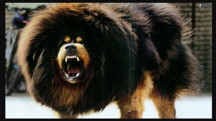 Mengenal Mastiff Tibet Anjing Tergalak di Dunia, Sering Artikan Teriakan Anak Kecil Sebagai Serangan