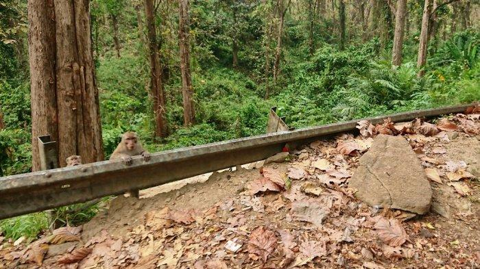 Kawanan monyet ekor panjang di sepanjang Jalur Pantura Alas Roban Kabupaten Batang, Sabtu (10/10/2020).