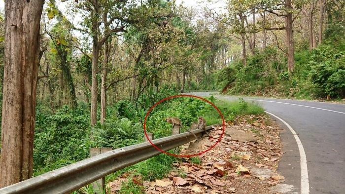 Kawanan Monyet Alas Roban Turun Ke Jalan Pantura Batang, Warga Sebut Ada Pertanda Buruk