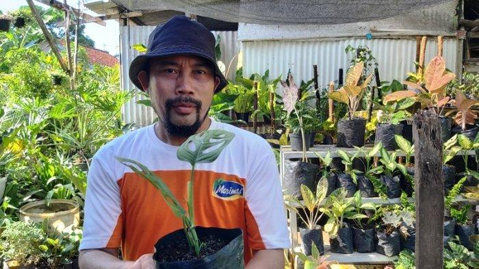 Nur Sidik, pemilik Kios Bunga Dua Putri di Jalan Tentara Pelajar Kota Tegal, menunjukkan tanaman hias janda bolong dijual seharga Rp 40 ribu per polybag.