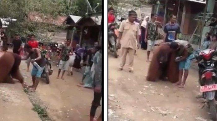 Viral Orangutan Dewasa Masuk Desa di Paser, Warga Iba Beri Makan
