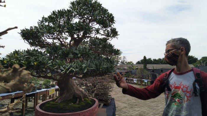 Ghofur Pajang 501 Pohon Bonsai di Halaman Rumah Dinas Bupati Kendal yang Mangkrak