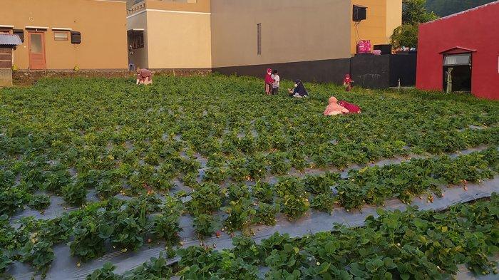 Panen Strawberry Tawangmangu Tidak Maksimal: Buah Rusak Karena Hujan