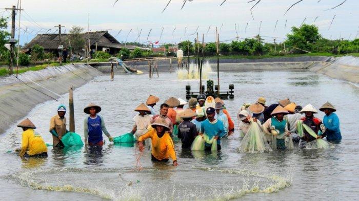 Ini Dia Proyek Shrimp Estate di Kebumen, Tambak Udang yang Menelan Anggaran Rp 1 Triliun