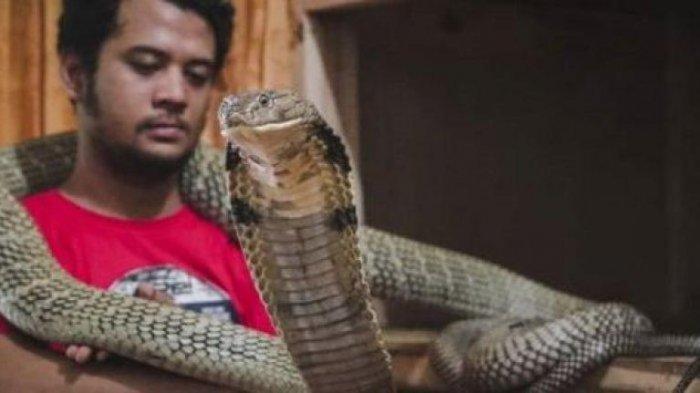 Pernah Akan Dilepas ke Habitatnya, Ini Alasan Panji Petualang Masih Pelihara King Cobra Garaga