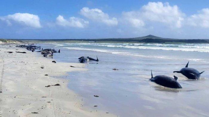 52 Paus Mati Terdampar di Pantai Madura, Tim Peneliti Unair Ungkap Penyebabnya