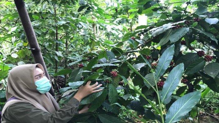 Unit Klinik Tani Unsoed Purwokerto Wujudkan Agrowisata Kopi Robusta Organik Banjarnegara