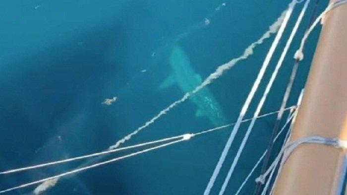 Hiu Megalodon Ukuran Raksasa Mengitari Kapal, Turis Teriak Ketakutan