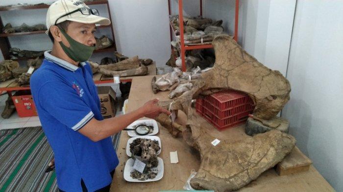 30 Fragmen Tulang Koleksi Museum Purbakala Patiayam Kudus Diusulkan Teregistrasi Nasional