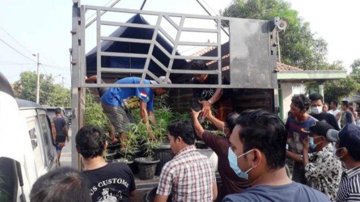 Tanam300 Pohon Ganjadi Pot, Ditresnarkoba Polda Jabar Gerebek Rumah Warga Brebes