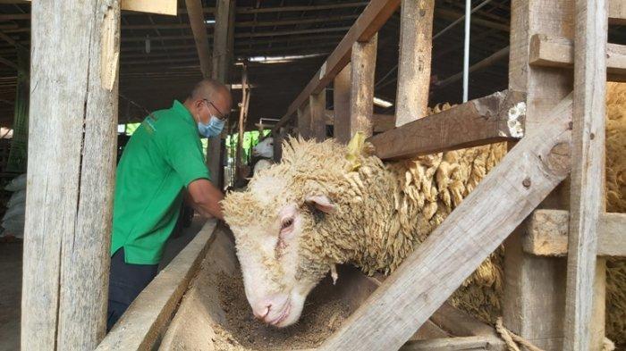 Penyembelihan Hewan Kurban di Magelang Diminta pada Hari Tasyrik, Selain Prokes, Ketahui Prosedurnya