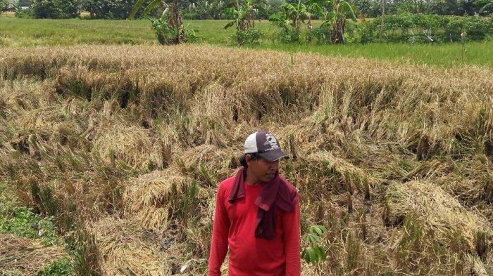 Seorang petani di Desa Jambearum Kecamatan Patebon Kendal hendak memanen tanaman padinya yang mulai roboh terdampak hujan, Senin (8/3/2021).