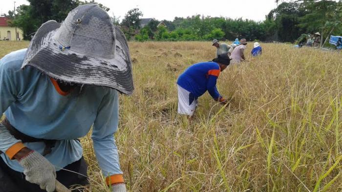 Wow! Tanam Padi Organik Sistem SRI, Petani di Pati Bisa Panen 3,7 Ton Tiap Setengah Hektare