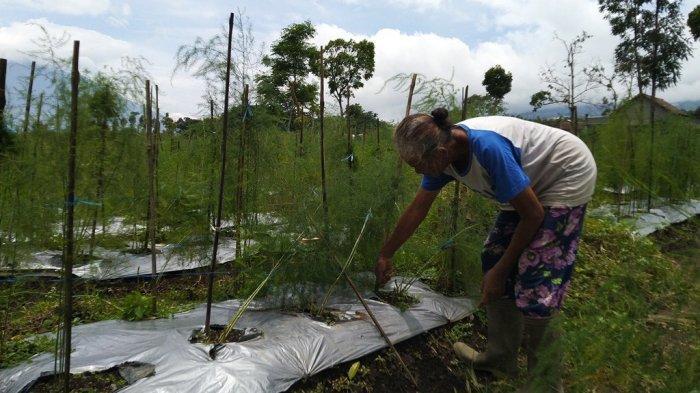 Cerita Petani Asparagus Temanggung Panen Tiap Hari hingga Target Ekspor Manca Negara