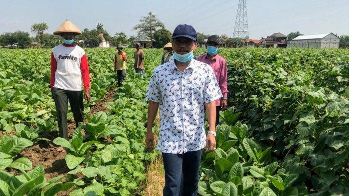 Petani Tembakau Ngampel Kendal Keluhkan Stok Pupuk Subsidi