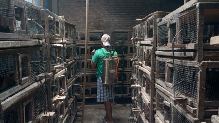 Kematian Massal Ribuan Burung Puyuh di Colomadu: Virusnya Apa Belum Tahu