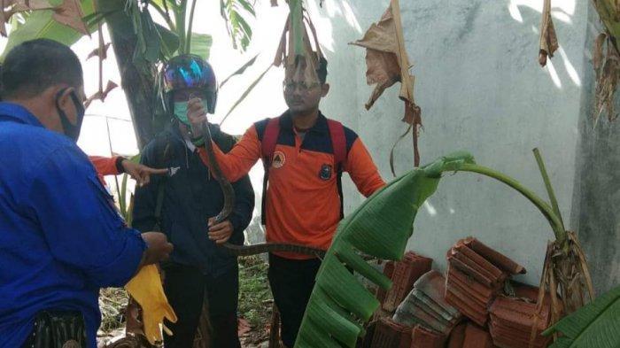 Musim Hujan, BPBD Kota Tegal Bagikan Tips Mencegah Ular Datang ke Sekeliling Rumah