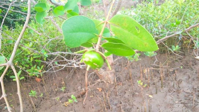 Pidada, Buah Mangrove Cegah Radang Saluran Kemih dan TBC