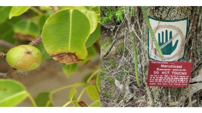 Mengenal Pohon Apel Pantai Tanaman Berbahaya Tak Boleh Dihirup, Dikaitkan Kisah Putri Salju