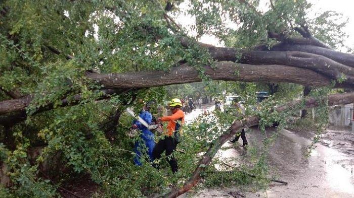 BPBD Catat 26 Kejadian Pohon Tumbang di Kabupaten Pekalongan