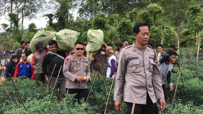 Polisi amankan ratusan batang ganja di Bengkulu(Polres Rejang Lebong)