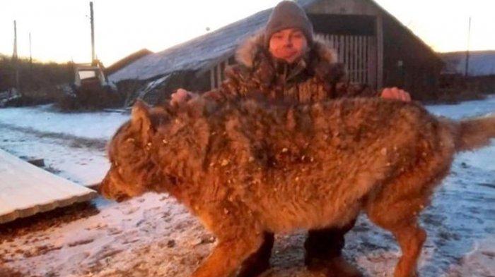 Dengan Tangan Kosong, Petani Rusia Ini Bunuh Serigala Ganas yang Serang Ternaknya