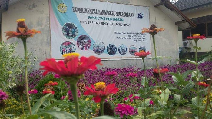 Mengenal Refugia Tanaman Bunga Cantik Yang Bisa Kendalikan Hama Tribun Jateng