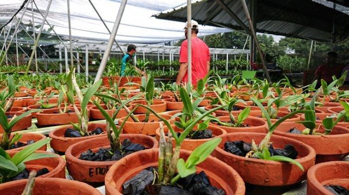 Wisata Kebun Bunga di Pemalang, Nia Takjub Melihat Puluhan Ribu Anggrek di Penggarit Orchids