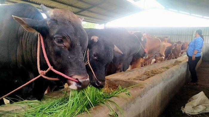 RPH Semarang Kehabisan Stok Hewan Kurban, 90 Sapi Ludes
