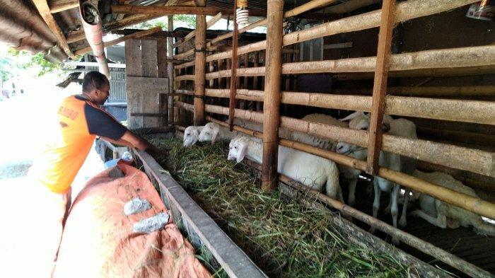 Dispertan Kudus Siapkan Inseminasi Buatan Gratis Untuk Pengembangbiakan Ternak Kambing